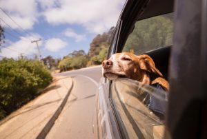 Bringing pets into Thailand_dog